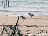 Beach stone curlews live in mated pairs