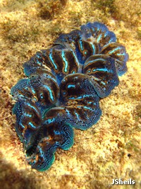 Burrowing clams, Tridacna crocea, are the most colourful, and the most commonly seen, giant clam on the fringing reefs