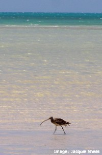 Eastern Curlew foraging in the shallows