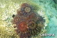 Crown of thorns starfish feeding on corals