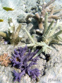 Staghorn corals
