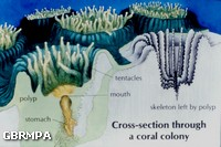 Cross section of a coral colony