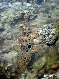 An Epaulette shark hunts on the reef flat at low tide
