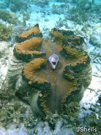 The world &apos s largest bivalve shell, the Giant Clam, Tridacna gigas, lives on fringing reefs