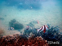 Juvenile Red Emperors shelter in staghorn coral at Hook Island