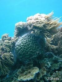 Fringing reefs are home to a high diversity of coral species