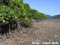 Mangrove Prop roots help to support them in the mud