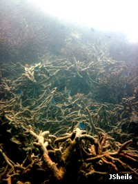 Storm damaged staghorn coral