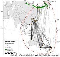 Migration paths of the Bar tailed Godwit