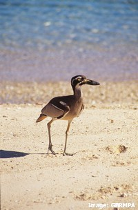 Beach stone curlews (Esacus neglectus) feed and shelter in mangroves
