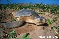 Flatback turtles feed on animals that live in seagrass habitats
