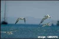 Terns are skilled fliers, dive bombing small fish on the water's surface