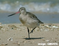 Migratory shorebirds depend on mangroves for food and shelter