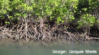 Red Mangroves stabilise the banks of Repulse Creek