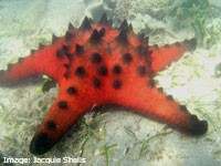 Red Horned Sea Star (Protoreaster nodosus)in a seagrass meadow, Gloucester Passage