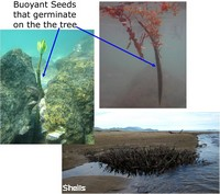 Many mangrove seeds germinate on the tree, are waterproof and buoyant